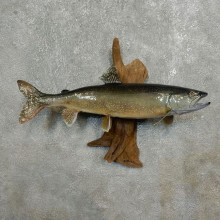Splake-Taxidermy-Fish-Mount-#17785-For-Sale-@-The-Taxidermy-Store