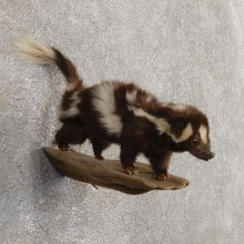 Spotted Skunk Life-Size Taxidermy Mount #21028 For Sale @ The Taxidermy Store