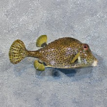 Spotted Trunkfish Taxidermy Saltwater Fish Mount #12224 For Sale @ The Taxidermy Store