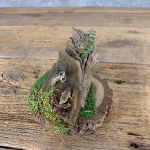Spring Peeper Taxidermy Mount For Sale #21550 @ The Taxidermy Store