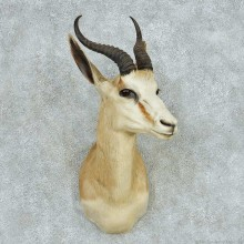 African Springbok Shoulder Mount #13612 For Sale @ The Taxidermy Store