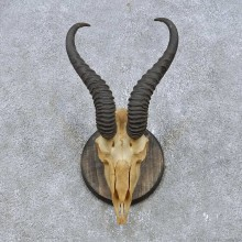 Springbok Skull & Horn European Mount For Sale #14930 @ The Taxidermy Store