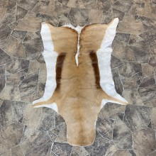Springbok Taxidermy Hide For Sale #22745 @ The Taxidermy Store