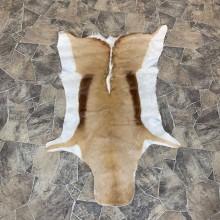 Springbok Taxidermy Hide For Sale #22745 @ The Taxidermy Store