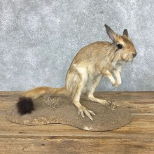 Springhare Taxidermy Mount #22152 For Sale @ The Taxidermy Store