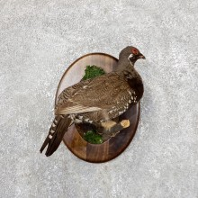 Spruce Grouse Mount For Sale #19430 @ The Taxidermy Store