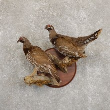 Spruce Grouse Mount For Sale #19730 @ The Taxidermy Store