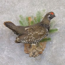 Spruce Grouse Mount For Sale #22189 @ The Taxidermy Store