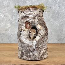 Red Squirrel Mount in a Log #12208 For Sale @ The Taxidermy Store
