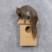 Squirrel & Birdhouse Mount For Sale #18747 @ The Taxidermy Store