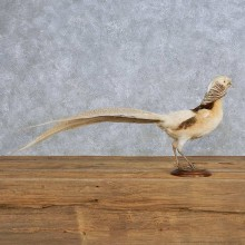 Standing Buff Pheasant Taxidermy Mount For Sale