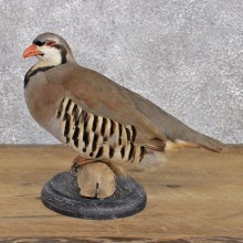 Chukar Standing Taxidermy Mount #12392 For Sale @ The Taxidermy Store
