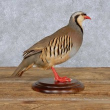 Standing Chukar Partridge Bird Mount For Sale #14146 @ The Taxidermy Store