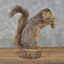 Standing Fox Squirrel Mount #11307 For Sale @ The Taxidermy Store