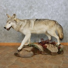Grey Alaskan Wolf Mount For Sale #14911 @ The Taxidermy Store