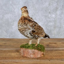 Standing Ruffed Grouse Mount For Sale #14202 @ The Taxidermy Store
