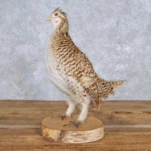 Standing Sharp-tailed Grouse Taxidermy Mount For Sale
