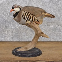 Chukar Standing Taxidermy Mount #12393 For Sale @ The Taxidermy Store