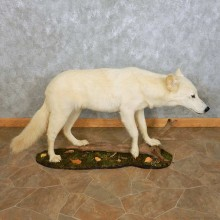 White Alaskan Wolf Mount For Sale #14912 @ The Taxidermy Store
