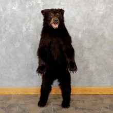 Standing Black Bear Cub Mount #18945 For Sale @ The Taxidermy Store