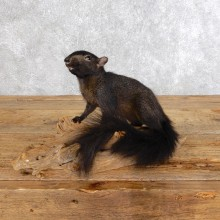 Standing Black Squirrel Taxidermy Mount For Sale