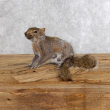 Standing Grey Squirrel Taxidermy Mount For Sale