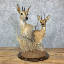 Steinbok & Bush Duiker Taxidermy Pedestal Mount For Sale #23069 @ The Taxidermy Store