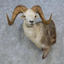 Stone Sheep 1/2-Life-Size Taxidermy Mount For Sale