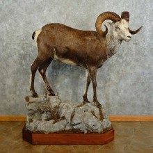 Stone Sheep Life-Size Taxidermy Mount For Sale