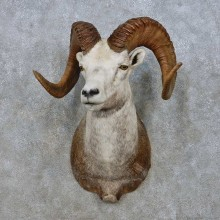 Stone Sheep Shoulder Mount For Sale #15009 @ The Taxidermy Store
