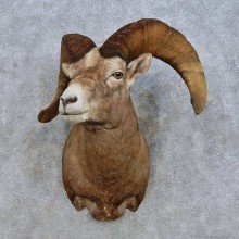 Bighorn Sheep Shoulder Mount For Sale #15011 @ The Taxidermy Store
