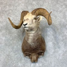 Stone Sheep Ram Taxidermy Shoulder Mount For Sale