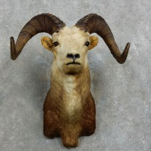 Stone Sheep Shoulder Mount For Sale #17164 @ The Taxidermy Store