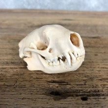 Striped Skunk Full Skull Taxidermy Mount #19841 For Sale @ The Taxidermy Store