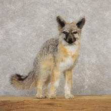 Swift Fox Life-Size Mount For Sale #20317  @ The Taxidermy Store