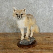 Swift Fox Life-Size Taxidermy Mount For Sale