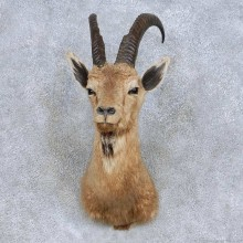 Cross Ibex Taxidermy Shoulder Mount For Sale