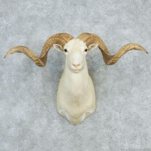 Texas Dall White Corsican Ram Shoulder Mount
