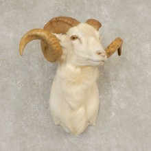 Texas Dall Sheep Mount For Sale #21599 @ The Taxidermy Store