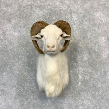 Texas Dall Sheep Mount For Sale #21617 @ The Taxidermy Store