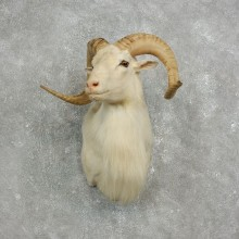 Texas Dall Sheep Taxidermy Shoulder Mount For Sale