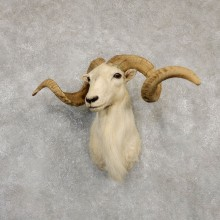 Texas Dall White Corsican Ram Taxidermy Mount #20183 For Sale @ The Taxidermy Store
