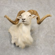 Texas Dall White Corsican Ram Taxidermy Pedestal Shoulder Mount #20533 For Sale @ The Taxidermy Store