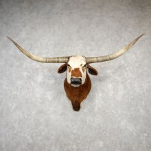 Texas Longhorn Shoulder Mount For Sale #18780 - The Taxidermy Store
