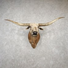 Texas Longhorn Shoulder Mount For Sale #18782 @ The Taxidermy Store