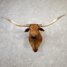 Texas Longhorn Shoulder Mount For Sale #19161 @ The Taxidermy Store