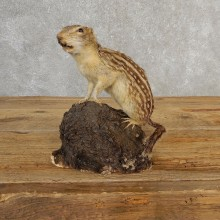 Thirteen-lined Ground Squirrel Mount For Sale #21124 @ The Taxidermy Store