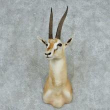 Thomson's Gazelle Shoulder Mount