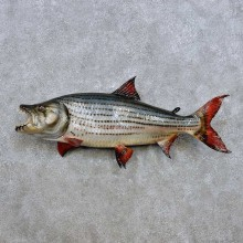 """34"""" Tiger Fish Taxidermy Mount For Sale"""