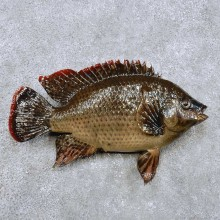 Tilapia Fish Mount For Sale #14364 @ The Taxidermy Store